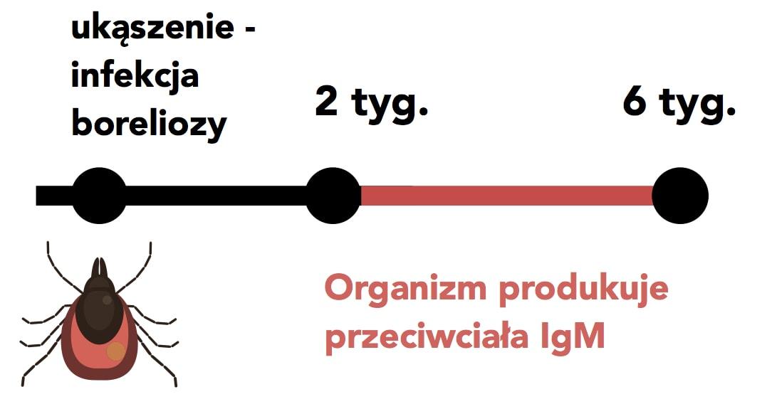 kiedy organizm produkuje przeciwciała IgM borelioza