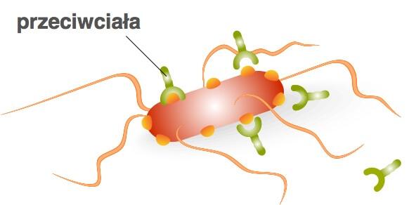 przeciwciała przeciwko Helicobacter pylori